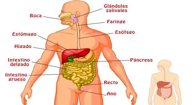 Es el conjunto de órganos que realizan la digestión de los alimentos que ingerimos.