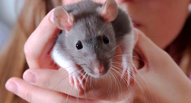 El significado de soñar con ratas.