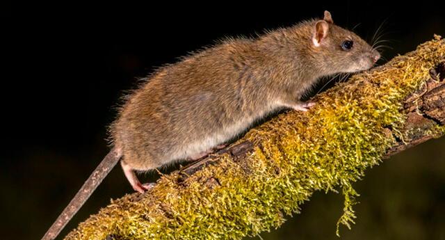 Significado de soñar con ratones huyendo