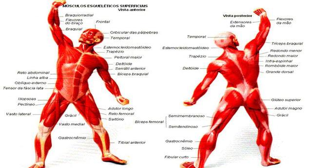 El sistema muscular nos perite la movilidad.