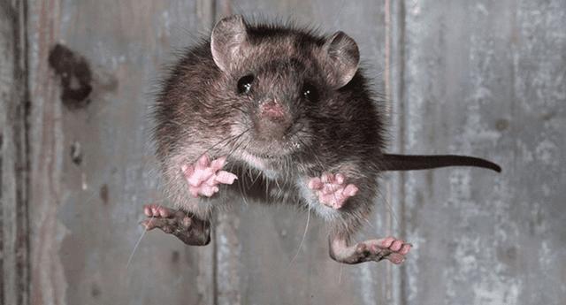 ¿Soñaste que una rata de estaba atacando? Conoce el significado AQUÍ