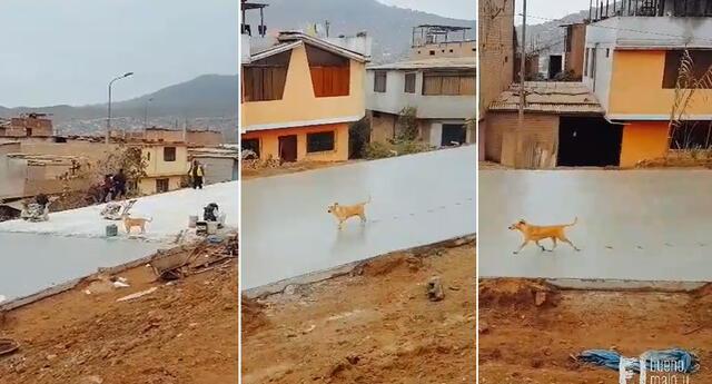 Perrito camina sobre cemento fresco y arruina el trabajo de obreros y video se hace viral.