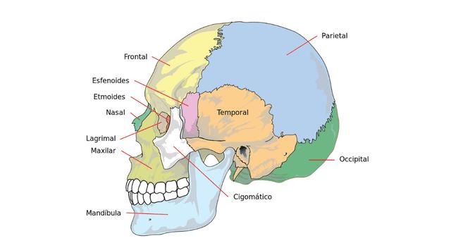 El cráneo va creciendo conforme pasamos a la adultez.