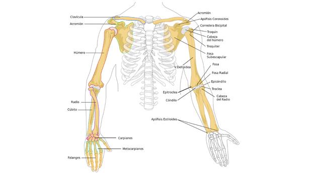 Las extremidades dan movilidad a nuestro cuerpo.