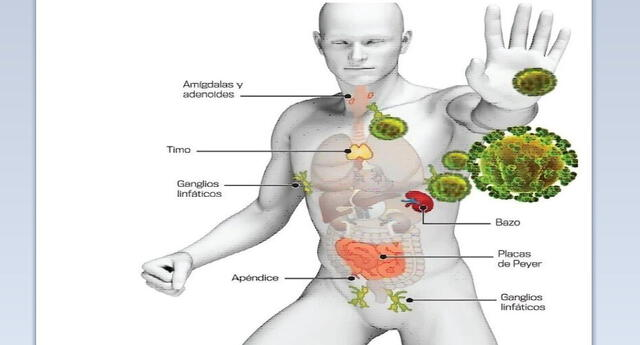 Aprende y conoce más sobre nuestro sistema inmunológico, el cual nos defiende de las enfermedades como el Covid-19.