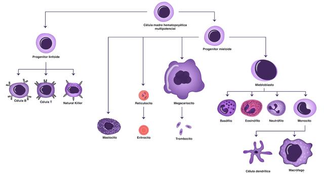 Estas células combaten las infecciones de nuestro cuerpo. Las principales son glóbulos blancos, macrófagos y células dendríticas.