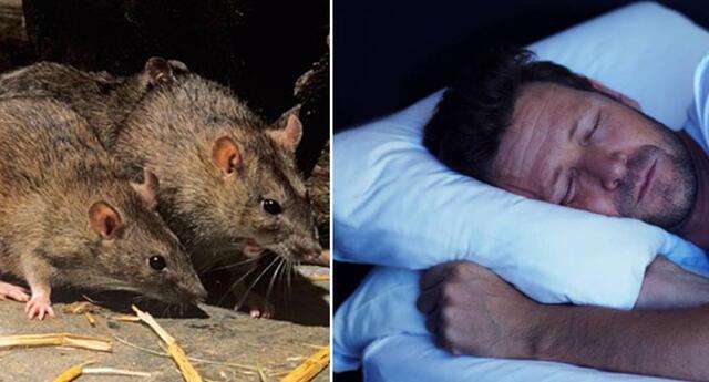 Conoce el significado de soñar con ratas o ratones.