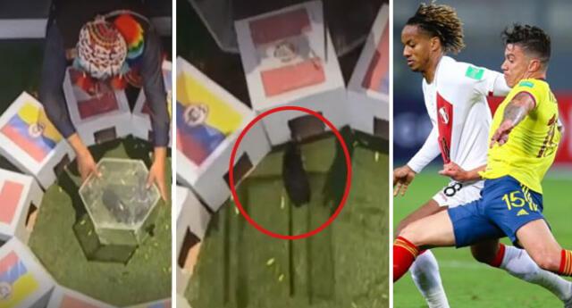 """El cuy """"Renato"""" dio contundente pronóstico sobre el tercer lugar de la Copa América 2021."""