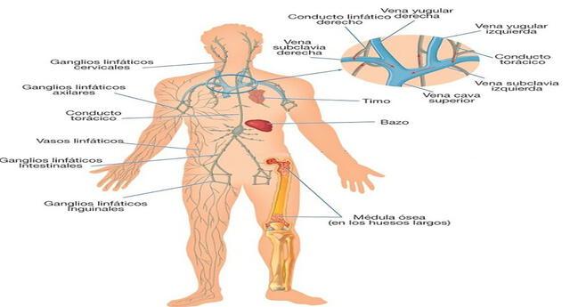 El sistema linfático y sus partes.