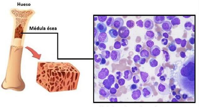 La médula ósea fabrica las células sanguíneas.