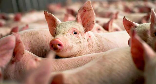 La peste porcina africana no se ha registrado en los otros grandes productores de carne de cerdo en Europa.