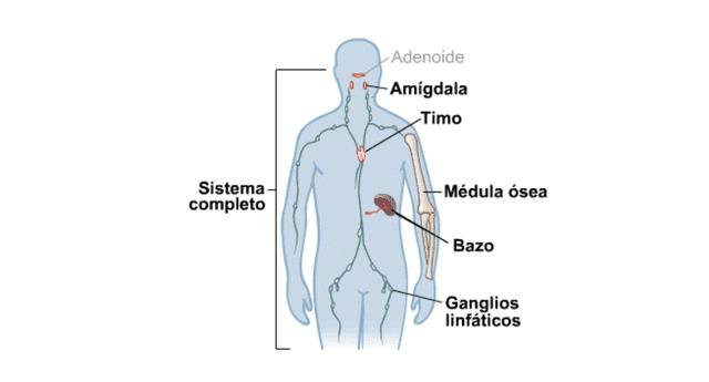 Sus funciones intervienen en el sistema inmunológico.
