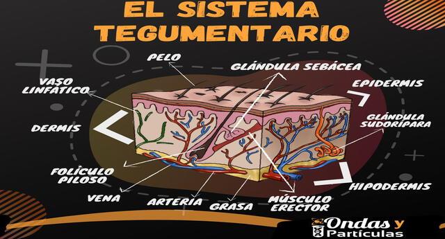 El sistema tegumentario está compuesto por la piel.