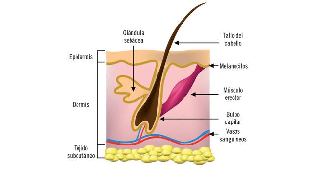 El pelo ayuda a regular la temperatura corporal.