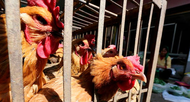 Brote de gripe aviar en medio de la batalla contra el coronavirus en India.
