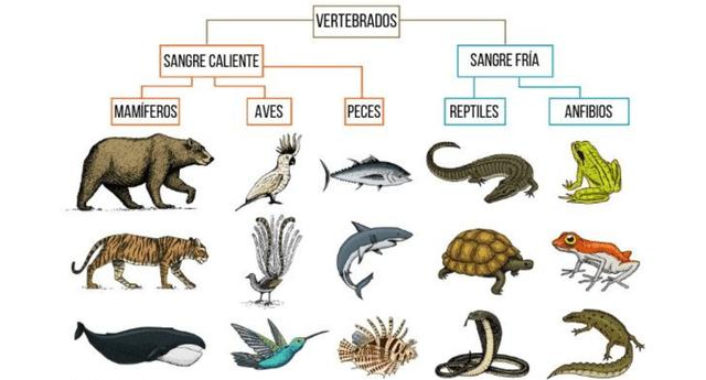 La mayoría de vertebrados respira mediante pulmones. Excepto los peces que tienen branquias.