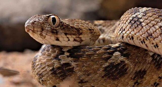 De momento, la OMS no ha confirmado que el veneno de esta serpiente sea efectiva para luchar contra la COVID-19.