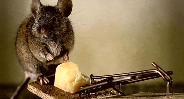 Debes interpretar los sueños con ratas según las circunstancias de tu vida.