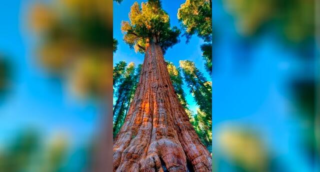 El 'General Sherman', de más de 2 300 años, tiene 84 metros de altura y 31 metros de diámetro a nivel del suelo.