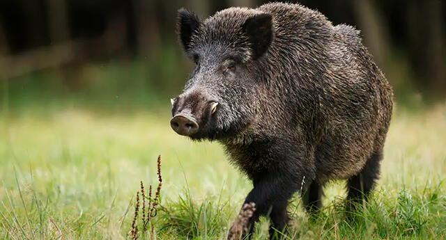 Algunos países permiten la caza de jabalíes por considerarlos una 'plaga' debido a su rápida reproducción.