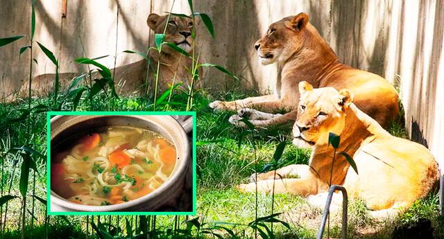 Con el fin de estimular su apetito, los cuidadores agregarán caldo de pollo, leche, queso de cabra a las dietas de los grandes felinos.