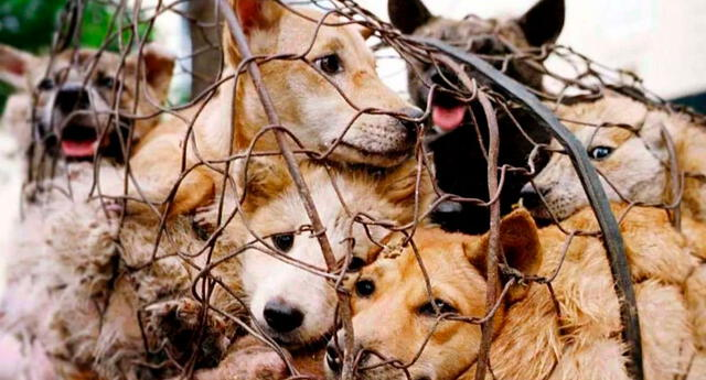 Un tribunal de Corea del Sur determinó que es ilegal matar perros para luego comerlos.