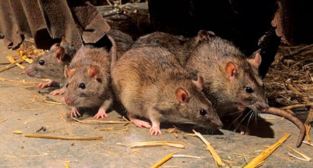 Significado de soñar con ratones huyendo.