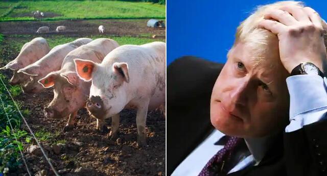 Unos 600 cerdos ya han sido sacrificados y luego depositados en contenedores como resultado de la escasez de mano de obra en los mataderos.